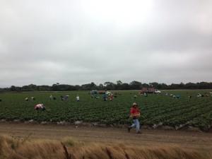 Strawberry fields near Watsonville.